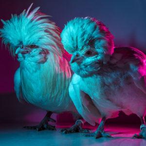 Chic Chicks ©Dan Bannino -Elvis&Priscilla