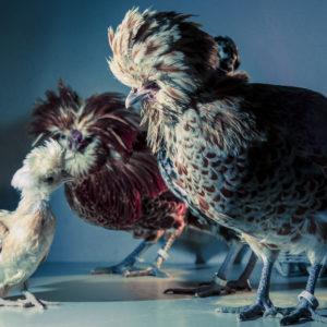 Chic Chicks ©Dan Bannino - Role model -