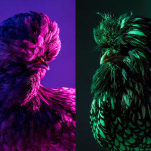 Chic Chicks ©Dan Bannino - Karl and Ananstacia