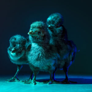 Chic Chicks ©Dan Bannino -Marvin, Joe, Pedro-