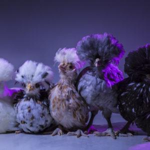 Chic Chicks ©Dan Bannino - Fluffy, Yolko, Willow, Flocky, Ziggy