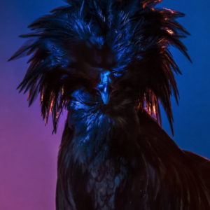 Chic Chicks ©Dan Bannino - Tyson/Black cloak-